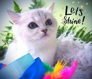 Wunderschönen kerngesunde BKH Kitten mit