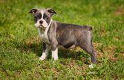 Boston Terrier Welpen in Sonderfarben