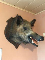 Wildschweinkopf Präparat ausgestopft
