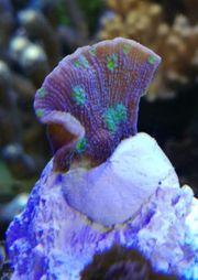 Meerwasser Korallen Paket