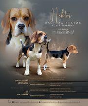 Beagle Deckrüde mit Ahnentafel