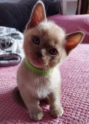 Burmese Kitten Burma Kätzchen