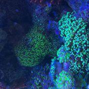 Euphyllia Korallen Korallenableger Meerwasser mit