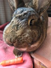 Kaninchen grauer Wiener