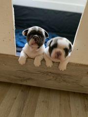 Französische Bulldoggen Rüden