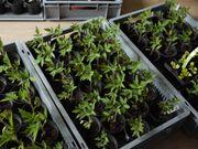 Tomatenpflanzen BIO zu verkaufen
