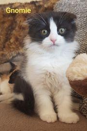 Edelkatzenmix Kitten aus BKH - Ragdoll
