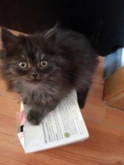 Süßes Maine Coon Kätzchen Katie