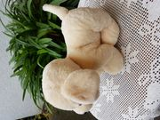 Neuw süßer Kuschel-Labrador-Welpe Emily