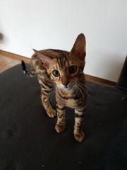 Bengal kitten suchen ein schönes