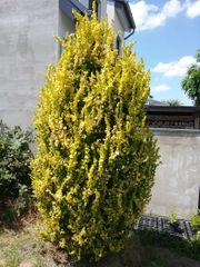 Goldulme verschiedene Größen - Bäume Pflanzen