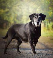 RONY S71 Labrador Mischling - wer