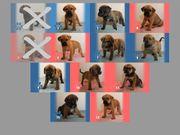 Welpen - American Bulldog Rottweiler Mix