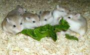 Zwerghamster abzugeben junge Hamster