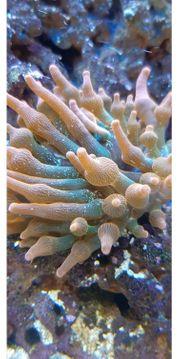 Kupferanemone quadricolor entacmaea