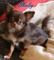 Traumhafter Chihuahua Rüde in Langhaar