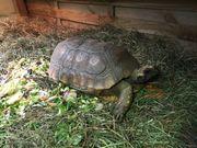 Südamerikanische Waldschildkröten Männchen zu verkaufen