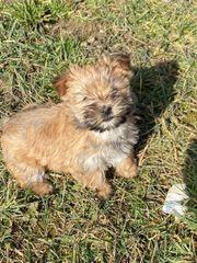 Yorkshire Terrier GoldDust Welpen selten