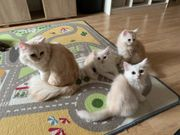 Perser Kitten mit Nase