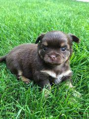 Hübsches braunes Chihuahua Baby sucht