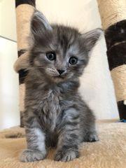 Kitten Perser Maine Coon Mischung