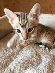 Elewa-Savannah-Cats wir haben Savannah F6sbt