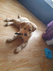 Labrador Dame sucht ein neues