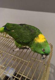 Ich suche diesen Papagei yellow