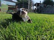 New english bulldog Bulldoggen babies