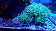 Korallen Meerwasser Ableger von einer