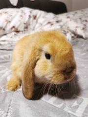 Zwerg Kaninchen zum verkauf