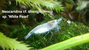 Neocaridina cf Zhangjiajiensis var white
