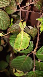 Phyllium Philippinicum - Wandelnde Blätter
