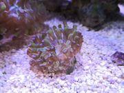Meerwasser Koralle Ableger LPS Euphyllia