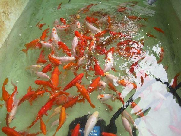 Goldfische Schleierschwänze und Koi Nachzuchten