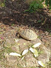 2 Landschildkröten Männlich