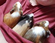 3 Meerschweinchen