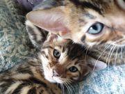 sReinrassige Bengal Kitten mit Stammbaum