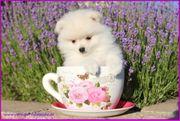 Micro Teacup Pomeranianrüdenwelpen braun weiß