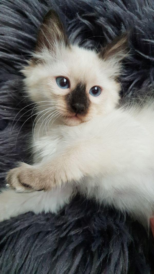 Siam Kitten Katze