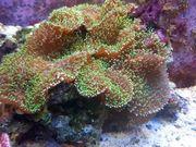 Meerwasser Scheibenanemonen-Stein groß
