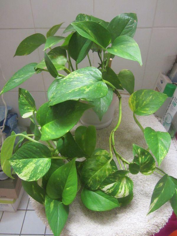 Zimmerpflanze Philodendron Strahlenaralie Efeutute Begonie