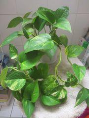 Zimmerpflanze Philodendron Strahlenaralie Efeutute Einblatt