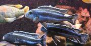 Pseudotropheus cyaneorhabdos Maingano Malawi Barsch