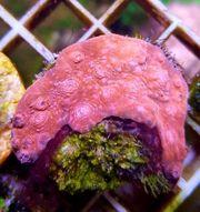 Meerwasser Chalice ultra red