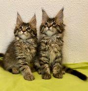 Maine Coon reinrassiger Katzen mit