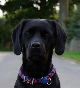 Hunde - Deckrüde Labrador im Kleinformat 47cm