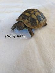 2 Grichische Landschildkröten