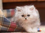 Reinrassige perse kätzchen