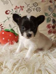 Süsser Chihuahua Rüde